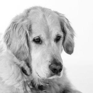 Hund Timber - schaut nachdenklich