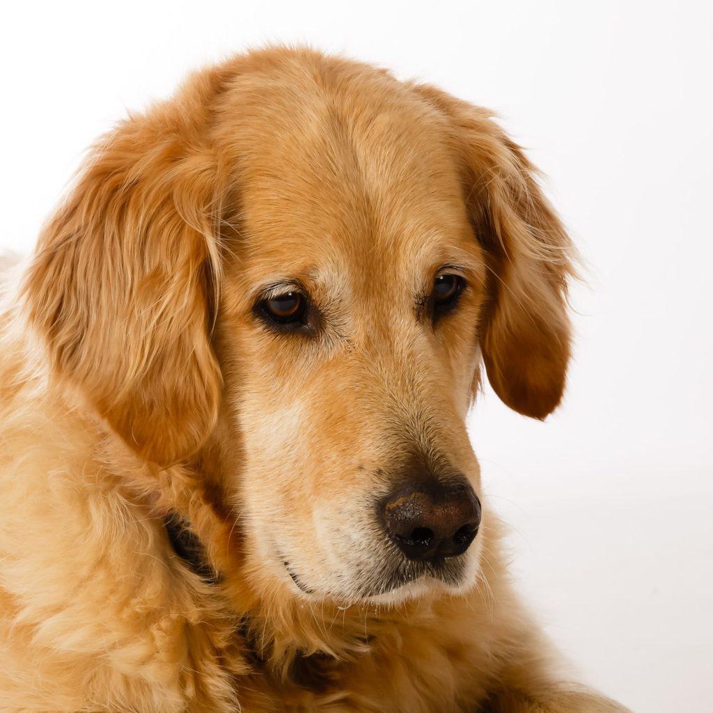 Hund Timber - schaut traurig