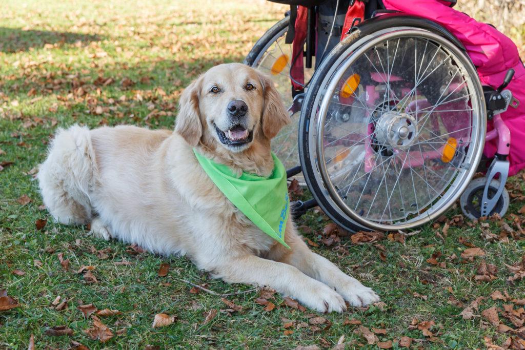 Hund Timber liegt neben einem Rollstuhl