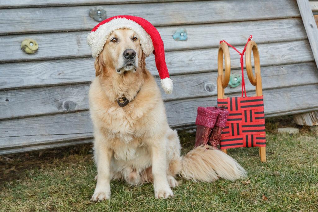 Hund Timber mit Nikolausmütze