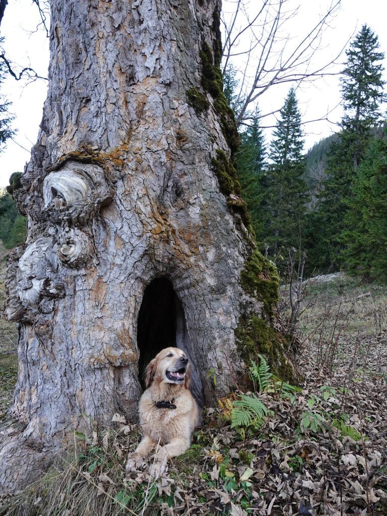 Timber liegt vor einem Baum