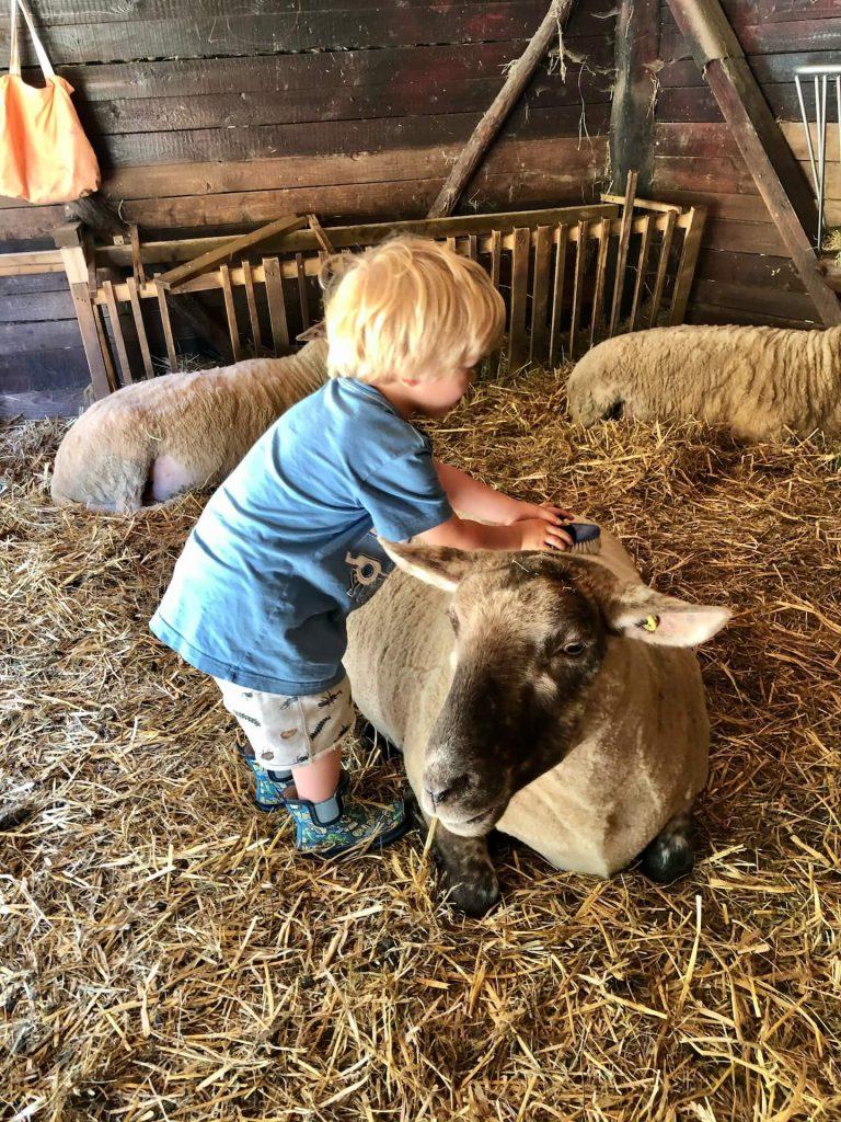 Kind bürstet Schaf